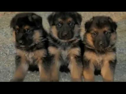 German shepherd puppies | Dogs / Puppies for sale in Central